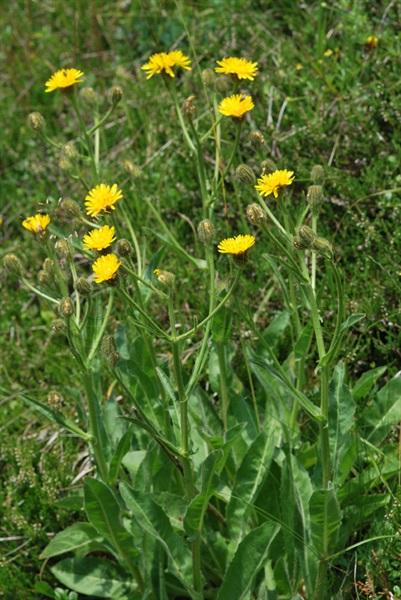 Crépide à grands capitule / Crepis conyzifolia