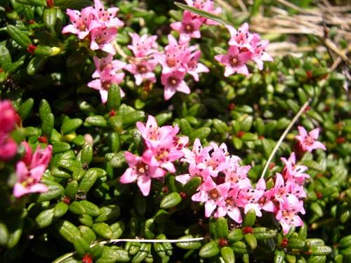 Alpenazalee / Loiseleuria procumbens