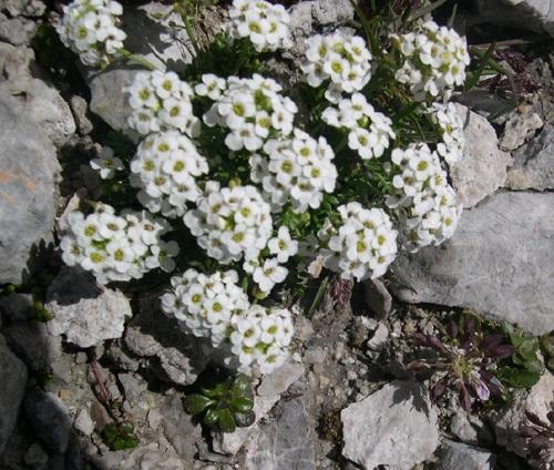 Alpen-Gämskresse / Pritzelago alpina