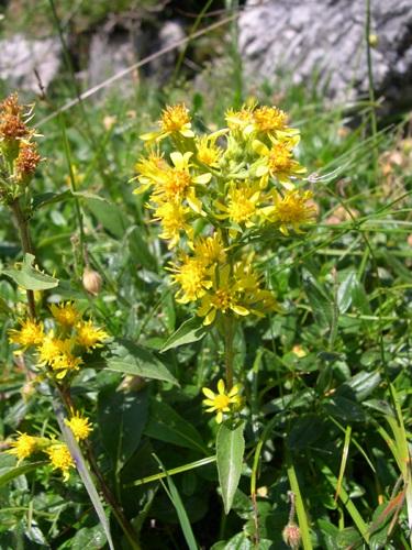 Alpen-Goldrute / Solidago virgaurea ssp.minuta