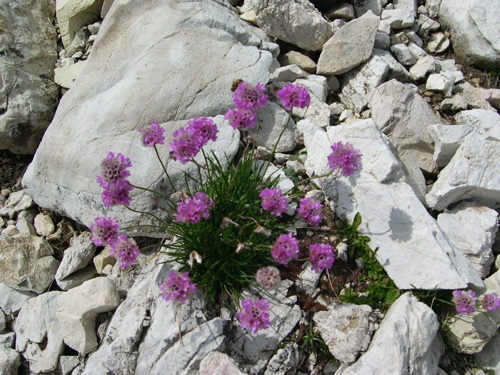 Mountain Thrift, Alpine Thrift / Armeria alpina