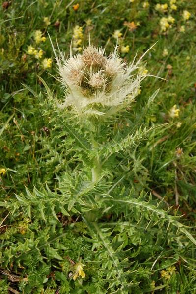 Alpen-Kratzdistel / Cirsium spinosissimum