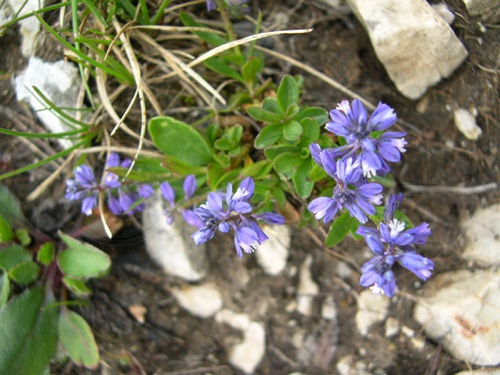 Alpine Milkwort / Polygala alpina