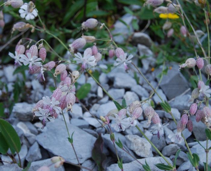 Silène des glariers / Silene vulgaris ssp. glareosa