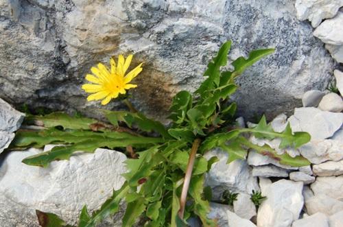 Pissenlit des Alpes / Taraxacum alpinum