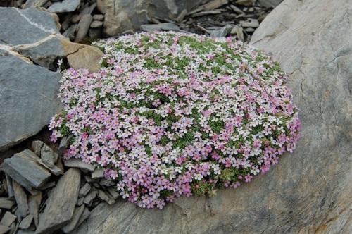 Alpen-Mannsschild / Androsace alpina