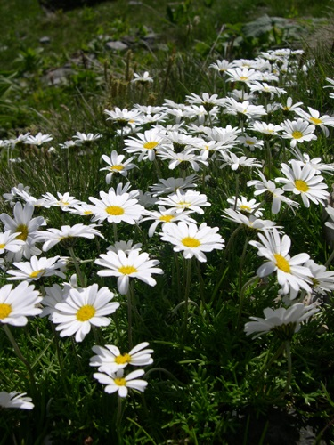 Alpen-Margerite / Leucanthemopsis alpina