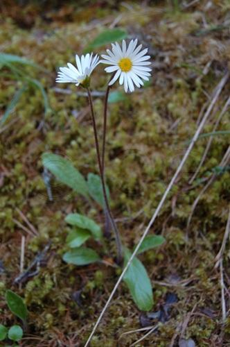 Daisy star / Aster bellidiastrum