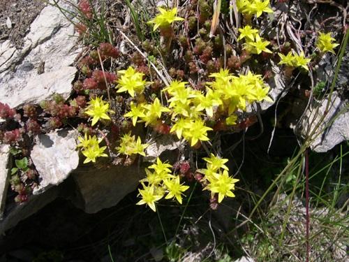 Alpen-Mauerpfeffer / Sedum alpestre
