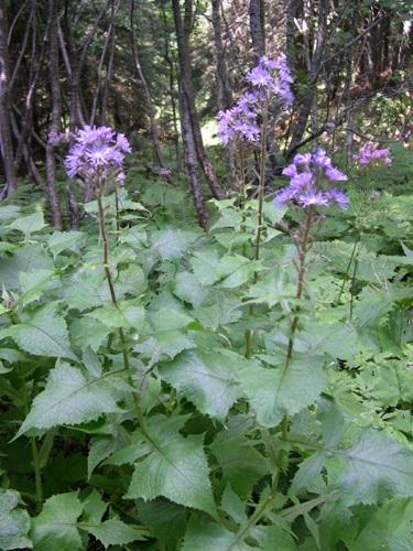 Alpine Blue Sow-thistle / Cicerbita alpina