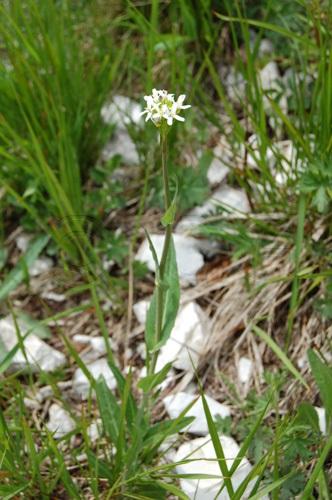 Fourréa des Alpes / Fourraea alpina