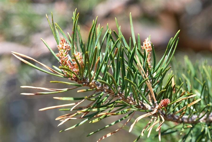 Aufrechte Bergföhre / Pinus mugo ssp. uncinata