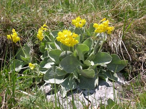 Flühblümchen / Primula auricula