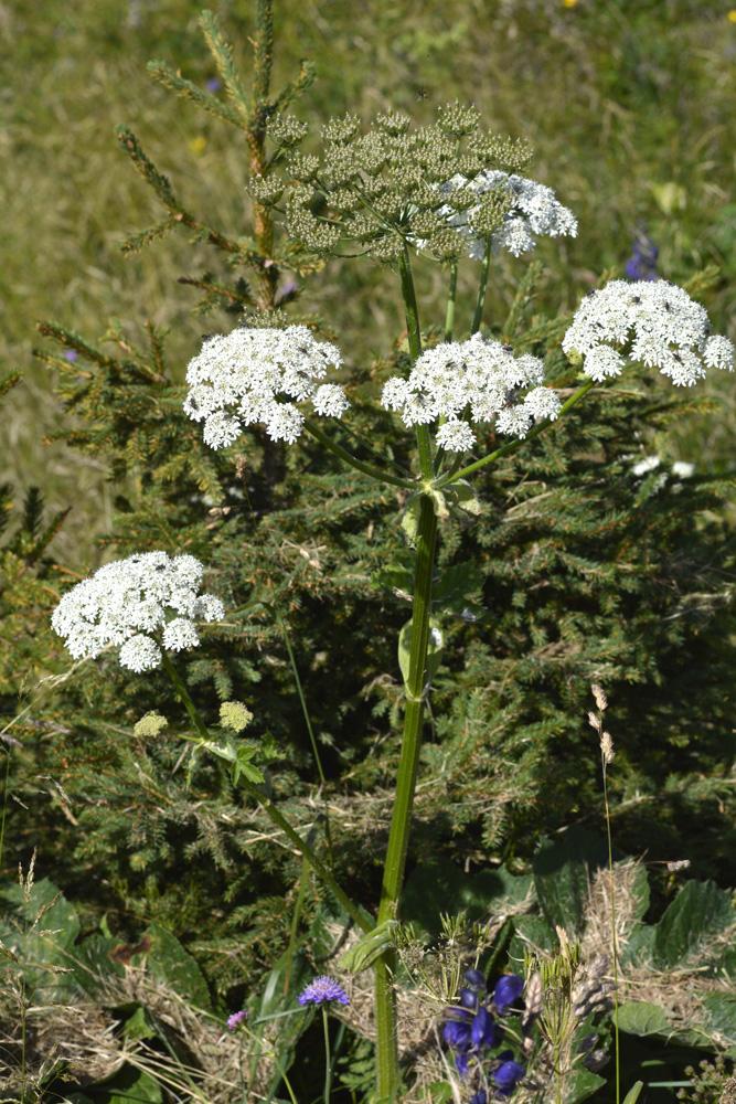 Panace elegante / Heracleum sphondylium ssp. elegans