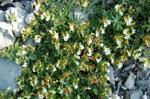 Berg-Gamander / Teucrium montanum