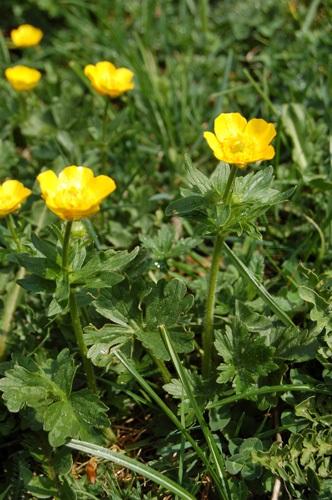 Ranuncolo montano / Ranunculus montanus