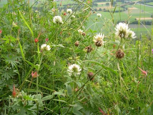 Mountain Clover / Trifolium montanum