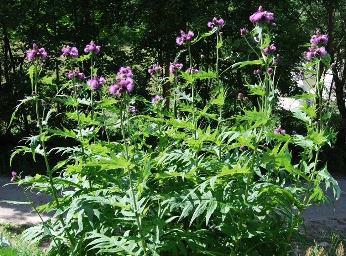 / Cirsium montanum