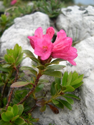 Bewimperte Alpenrose, Steinrose / Rhododendron hirsutum