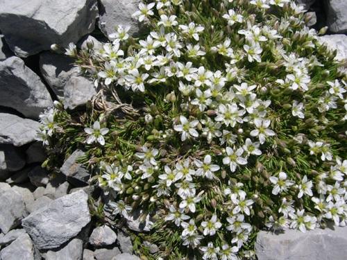 Bewimperte Nabelmiere / Moehringia ciliata