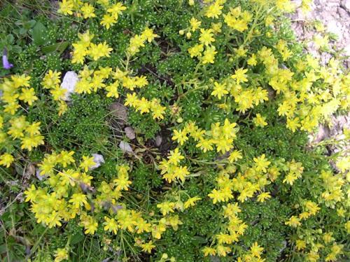 Saxifrage des ruisseaux / Saxifraga aizoides
