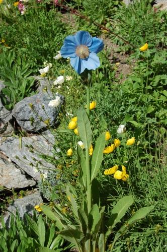 Blauer Mohn / Meconopsis betonicifolia