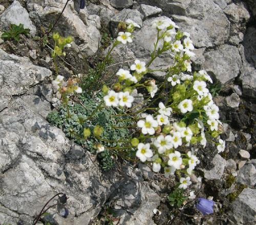 Saxifrage bleuâtre / Saxifraga caesia