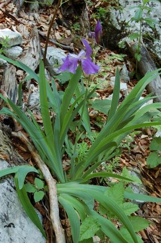 Giaggiolo del Monte Cengio Alto / Iris pallida ssp. cengialti