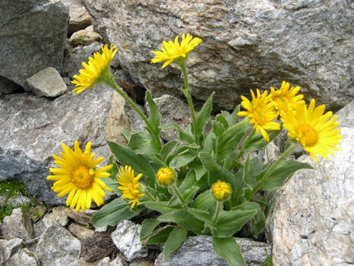 Doronico del granito / Doronicum clusii
