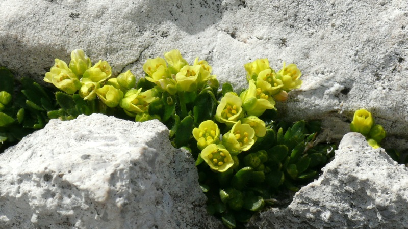 Drave des Dolomites / Draba dolomitica (Foto U.Müller)