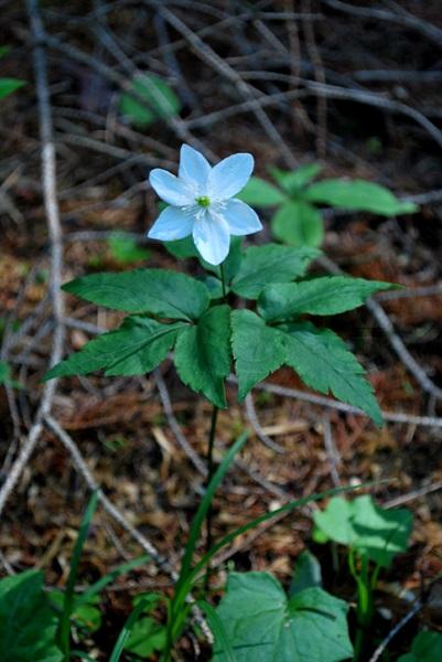 Dreiblatt-Anemone / Anemone trifolia