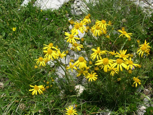 Senecione abrotanino / Senecio abrotanifolius