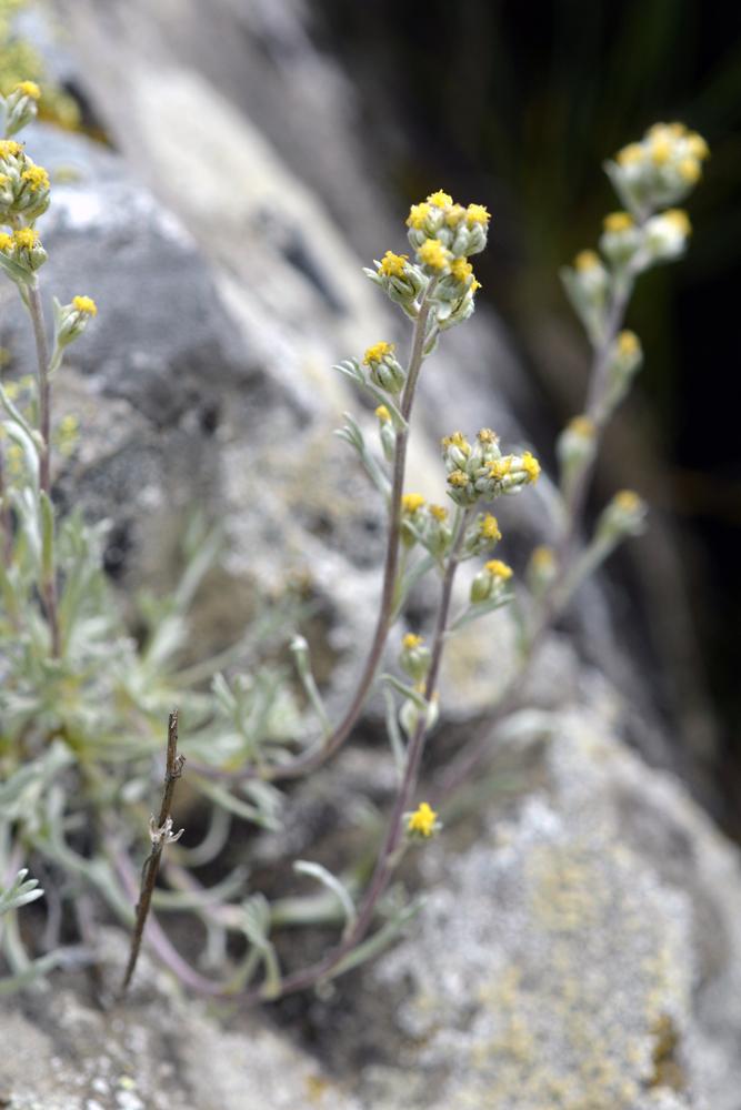 Génepi blanc / Artemisia umbelliformis