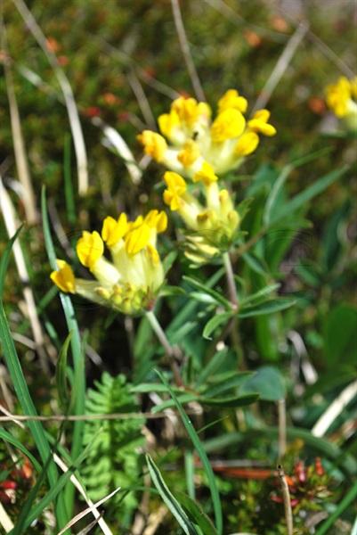 Echter Wundklee / Anthyllis vulneraria ssp. vulneraria