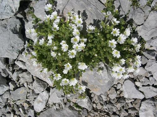 / Cerastium alpinum