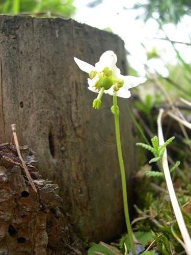 Pyrole à une fleur / Moneses uniflora