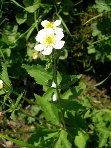 Eisenhutblättriger Hahnenfuss / Ranunculus aconitifolius