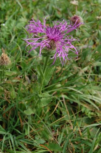 Federige Flockenblume / Centaurea nervosa