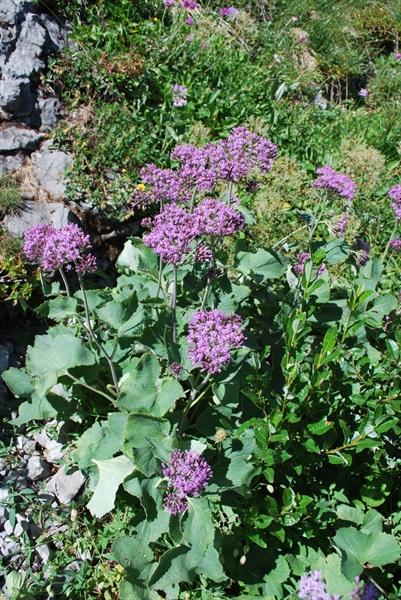 Filziger Alpendost / Adenostyles leucophylla
