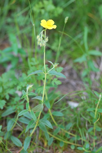 Héliathème tomenteux / Helianthemum nummularium ssp. tomentosum