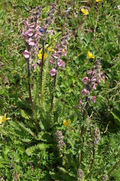 Pédiculaire à bec et en épi / Pedicularis rostratospicata ssp. helvetica