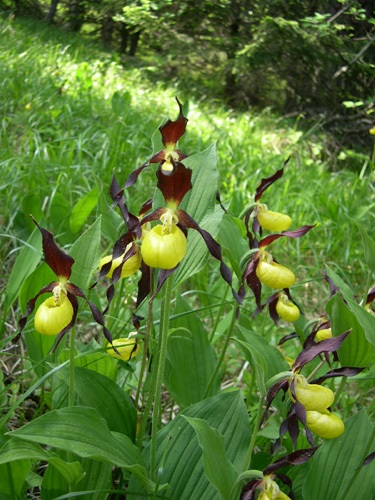Frauenschuh / Cypripedium calceolus