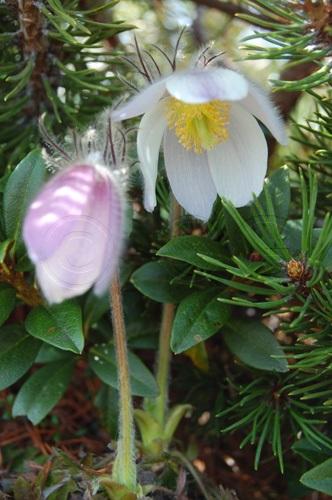 Frühlings-Anemone / Pulsatilla vernalis