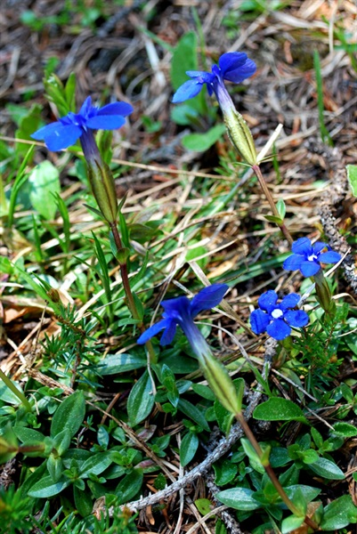 Frühlingsenzian / Genziana verna