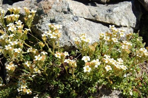 Saxifrage sillonée / Saxifraga exarata ssp. exarata