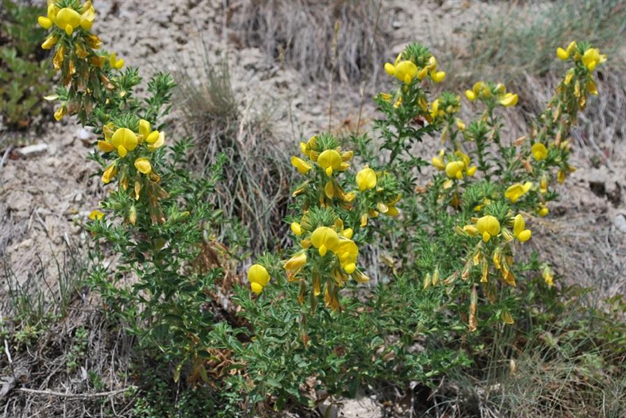 Gelbe Hauhechel / Ononis natrix