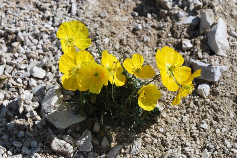 Papavero alpino giallo / Papaver aurantiacum