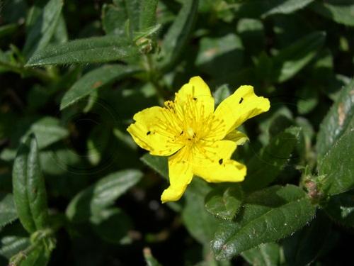 Gemeines Sonnenröschen / Helianthemum nummularium ssp.nummularium