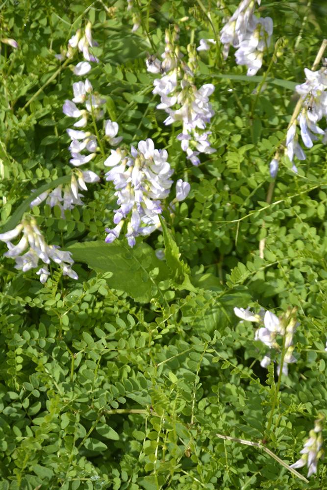 Astragale à fleurs pendantes / Astragalus frigidus