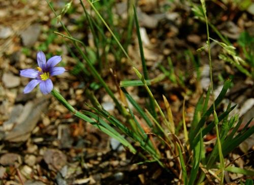 Blumensimse, Grasschwertlilie / Sisyrinchium montanum